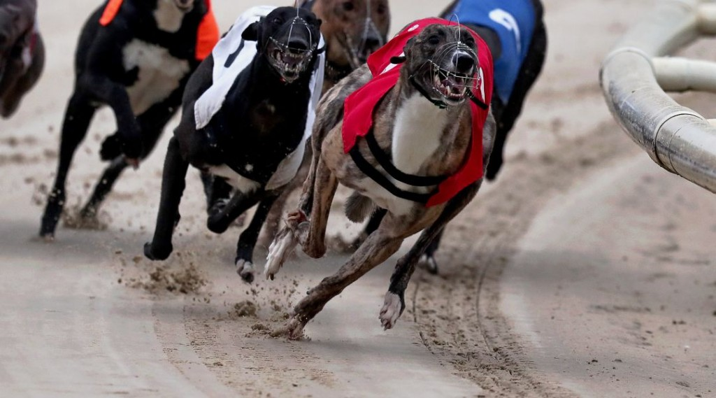 2017 British Breeders Stakes FInal, Candlelight Fire odds, British Breeders Stakes greyhounds odds